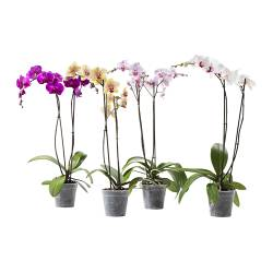 "PHALAENOPSIS potted plant, 2 stems, Orchid Diameter of plant pot: 5 ½ "" Height of plant: 23 ½ "" Diameter of plant pot: 14 cm Height of plant: 60 cm"