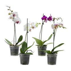 PHALAENOPSIS potted plant, 1 stem, Orchid Diameter of plant pot: 12 cm Height of plant: 55 cm