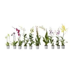 ORCHIDACEAE potted plant, assorted, Orchid Diameter of plant pot: 12 cm Height of plant: 60 cm