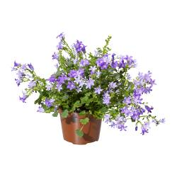 CAMPANULA PORTENSCHLAGIANA potted plant, Bell flower Diameter of plant pot: 10.5 cm Height of plant: 25 cm