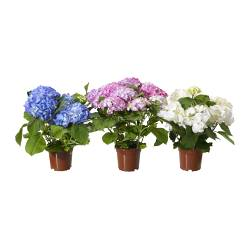 "HYDRANGEA potted plant, assorted colors Diameter of plant pot: 6 "" Height of plant: 13 ¾ "" Diameter of plant pot: 15 cm Height of plant: 35 cm"
