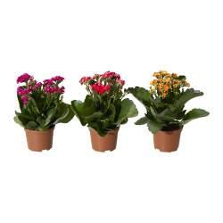 KALANCHOE potted plant, Flaming Katy, assorted colors