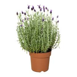 LAVANDULA potted plant Diameter of plant pot: 19 cm Height of plant: 50 cm