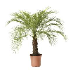 PHOENIX ROEBELENII potted plant, Pygmy Date Palm Diameter of plant pot: 27 cm Height of plant: 120 cm