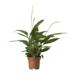 SPATHIPHYLLUM potted plant, Peace lily Diameter of plant pot: 12 cm Height of plant: 45 cm