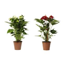 "ANTHURIUM potted plant, Flamingo plant Diameter of plant pot: 5 ½ "" Height of plant: 21 ¾ "" Diameter of plant pot: 14 cm Height of plant: 55 cm"