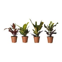 CODIAEUM potted plant, assorted, Croton Diameter of plant pot: 12 cm Height of plant: 40 cm
