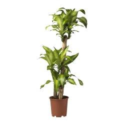 "DRACAENA MASSANGEANA potted plant, 3-stem, Dom plant Diameter of plant pot: 9 ½ "" Height of plant: 51 ¼ "" Diameter of plant pot: 24 cm Height of plant: 130 cm"
