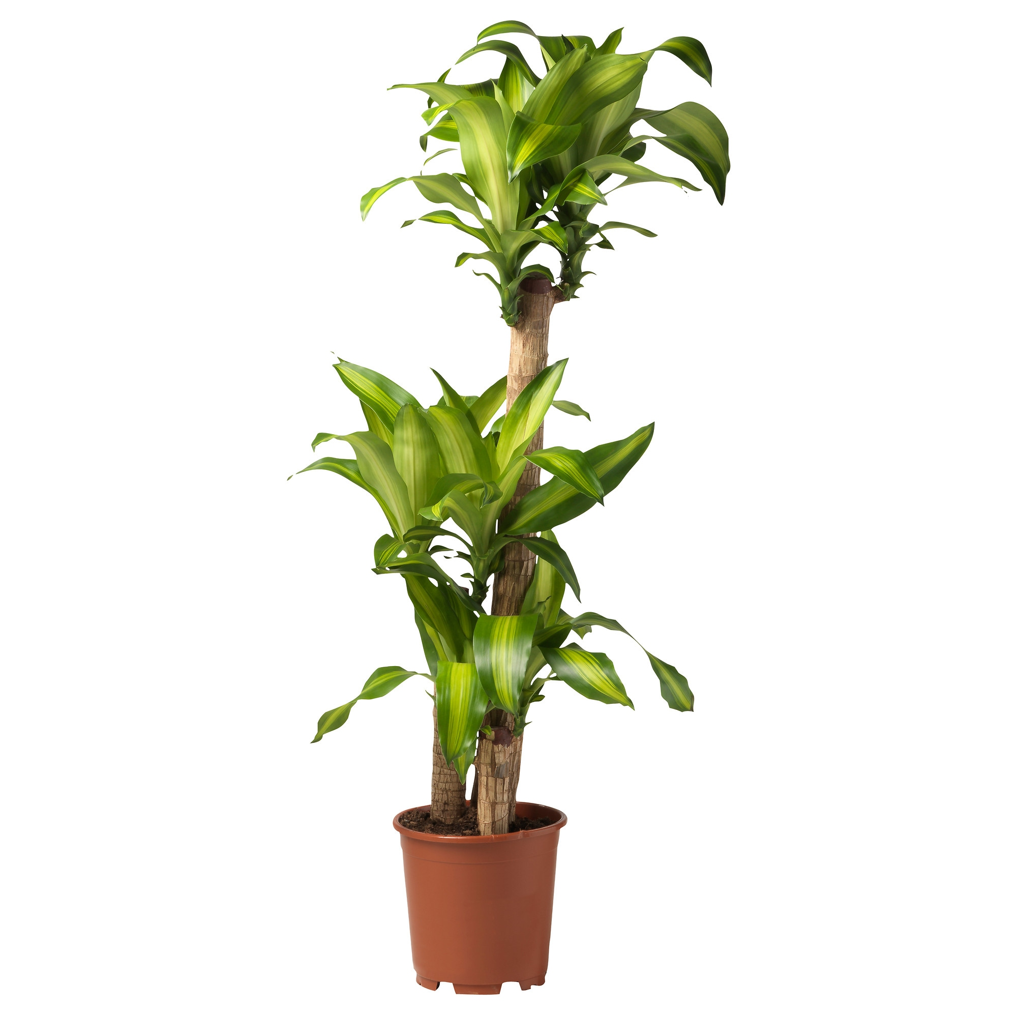 Potted plants singapore stunning rhapis excel draco for Ikea plantes