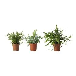 ORMBUNKE potted plant, assorted, fern Diameter of plant pot: 12 cm Height of plant: 30 cm