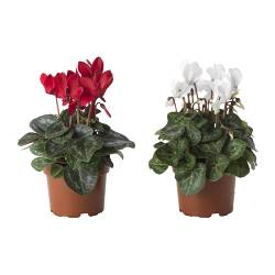 "CYCLAMEN potted plant, assorted colors Diameter of plant pot: 4 "" Height of plant: 9 "" Diameter of plant pot: 10 cm Height of plant: 23 cm"
