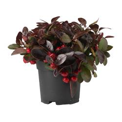 GAULTHERIA PROCUMBENS floare+ghiveci, Gaultheria Procumbens