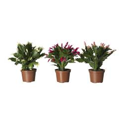 SCHLUMBERGERA potted plant, Christmas cactus, assorted species plants