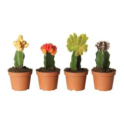 GYMNOCALYCIUM potted plant, grafted cactus, assorted Diameter of plant pot: 10.5 cm Height of plant: 20 cm