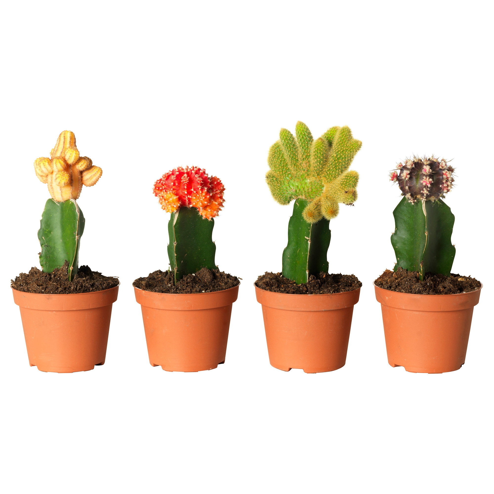 cactus plant in pot images galleries with a bite. Black Bedroom Furniture Sets. Home Design Ideas