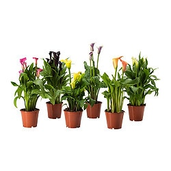 ZANTEDESCHIA potted plant, assorted, Calla Diameter of plant pot: 14 cm Height of plant: 45 cm