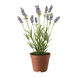 "FEJKA artificial potted plant, lavender Diameter of plant pot: 4 ¾ "" Height of plant: 14 ½ "" Diameter of plant pot: 12 cm Height of plant: 37 cm"