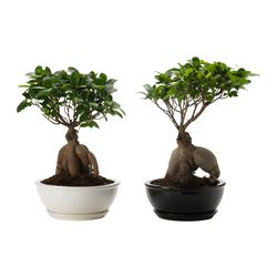 "FICUS MICROCARPA GINSENG plant with pot Diameter of plant pot: 9 ¾ "" Height of plant: 15 ¾ "" Diameter of plant pot: 25 cm Height of plant: 40 cm"