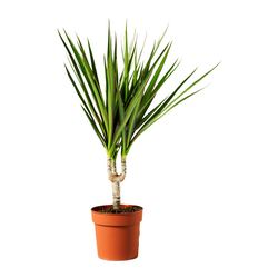 DRACAENA MARGINATA potted plant, 1-stem, Dragon tree Diameter of plant pot: 10.5 cm Height of plant: 35 cm