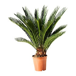 CYCAS REVOLUTA potted plant, sago palm Diameter of plant pot: 21 cm Height of plant: 70 cm