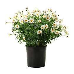 ARGYRANTHEMUM FRUTESCENS potted plant, Marguerite white Diameter of plant pot: 19 cm Height of plant: 50 cm
