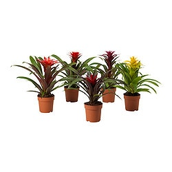 GUZMANIA potted plant, assorted, Scarlet star Diameter of plant pot: 12 cm Height of plant: 50 cm