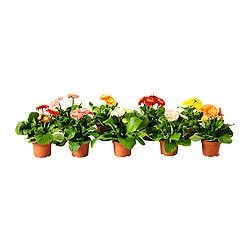 "GERBERA potted plant, assorted species plants, Gerbera Diameter of plant pot: 4 "" Height of plant: 10 "" Diameter of plant pot: 10.2 cm Height of plant: 25.5 cm"