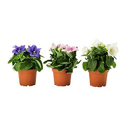 PLATYCODON potted plant, assorted, Balloon flower Diameter of plant pot: 12 cm Height of plant: 22 cm