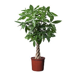 "PACHIRA AQUATICA potted plant, Guinea chestnut Diameter of plant pot: 10 "" Height of plant: 39 "" Diameter of plant pot: 25.5 cm Height of plant: 100 cm"