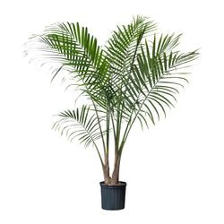 "RAVENEA potted plant, Majesty palm Diameter of plant pot: 9 ¾ "" Height of plant: 55 "" Diameter of plant pot: 25 cm Height of plant: 140 cm"