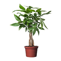 "PACHIRA AQUATICA potted plant, Guinea chestnut Diameter of plant pot: 5 "" Height of plant: 15 ¾ "" Diameter of plant pot: 12.5 cm Height of plant: 40 cm"