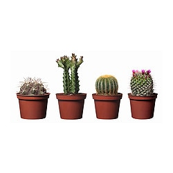 "CACTACEAE potted plant, assorted species plants Diameter of plant pot: 4 "" Diameter of plant pot: 10 cm"