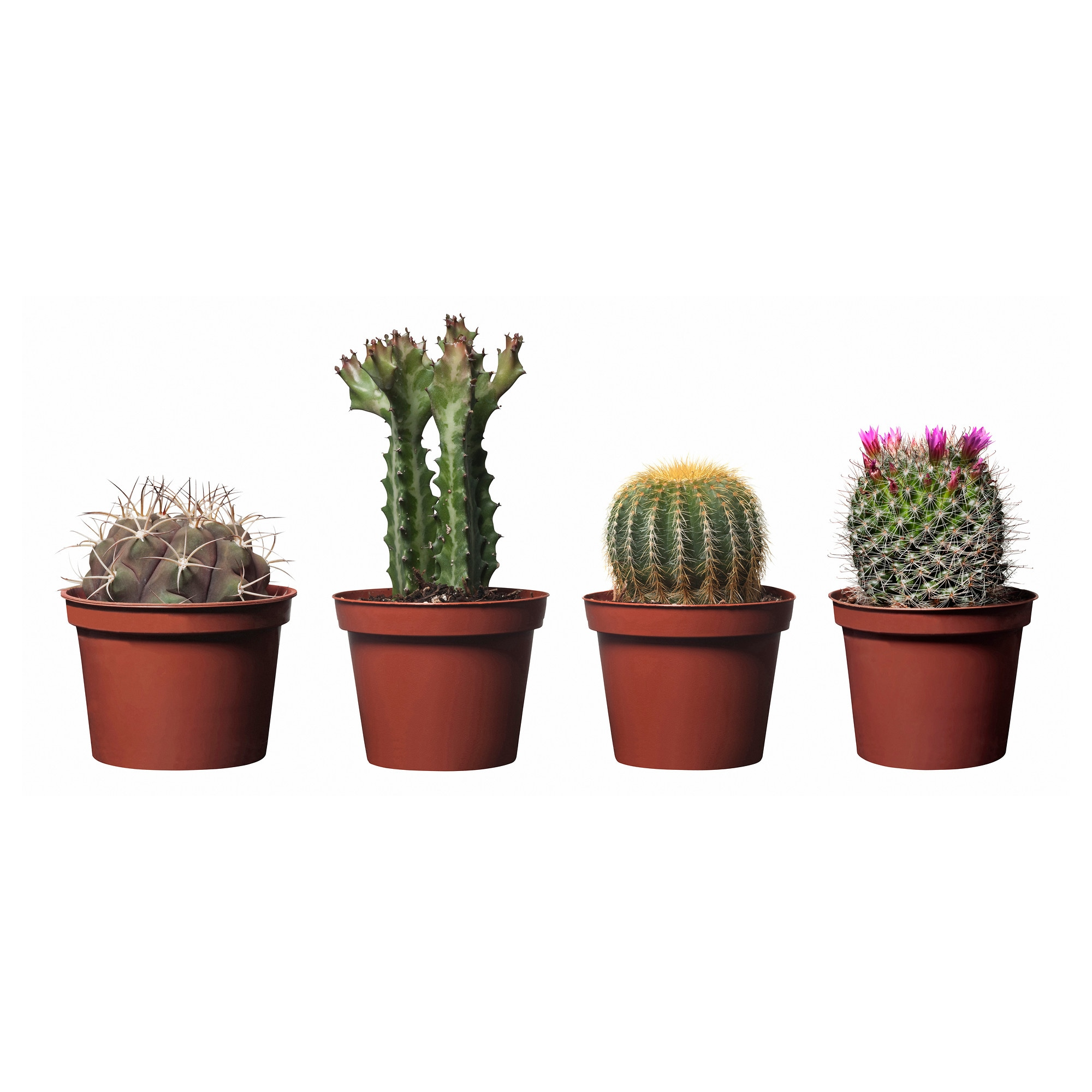 Types of house plant cactus pictures
