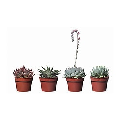 SUCCULENT potted plant, assorted species plants