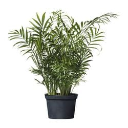 "CHAMAEDOREA ELEGANS potted plant, Parlor palm Diameter of plant pot: 6 "" Height of plant: 17 ¾ "" Diameter of plant pot: 15 cm Height of plant: 45 cm"