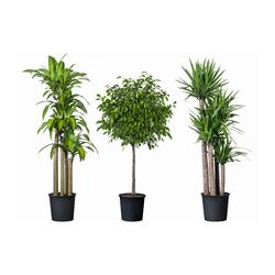 "TROPISK potted plant, assorted species plants, tropical plant Diameter of plant pot: 12 "" Height of plant: 55 "" Diameter of plant pot: 30.5 cm Height of plant: 140 cm"