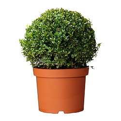 BUXUS SEMPERVIRENS potted plant, ball, Box Diameter of plant pot: 21 cm Height of plant: 40 cm