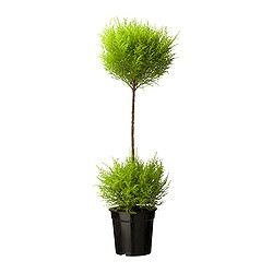 CUPRESSUS MACROCARPA potted plant, duoball, cypress Diameter of plant pot: 21 cm Height of plant: 90 cm