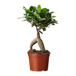 FICUS MICROCARPA GINSENG potted plant Diameter of plant pot: 12 cm Height of plant: 35 cm