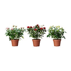 ROSA potted plant, Rose Diameter of plant pot: 13 cm Height of plant: 30 cm