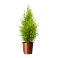 CUPRESSUS MACROCARPA potted plant, cypress Diameter of plant pot: 24 cm Height of plant: 90 cm