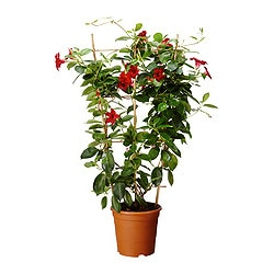 DIPLADENIA potted plant Diameter of plant pot: 17 cm Height of plant: 60 cm