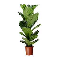 FICUS LYRATA potted plant, fiddle-leaf fig Diameter of plant pot: 21 cm Height of plant: 100 cm