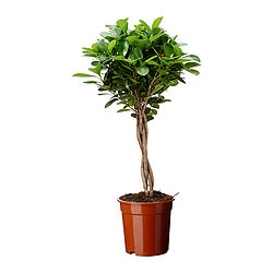 FICUS MICROCARPA MOCLAME potted plant Diameter of plant pot: 17 cm Height of plant: 70 cm
