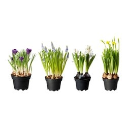 LÖKARYD potted plant, assorted Diameter of plant pot: 12 cm Height of plant: 15 cm