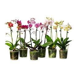 PHALAENOPSIS potted plant, 2 stems, Orchid Diameter of plant pot: 9 cm Height of plant: 35 cm