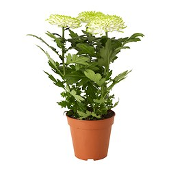 CHRYSANTHEMUM potted plant Diameter of plant pot: 13 cm Height of plant: 32 cm