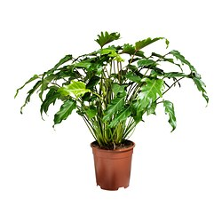 PHILODENDRON XANADU potted plant Diameter of plant pot: 21 cm Height of plant: 65 cm