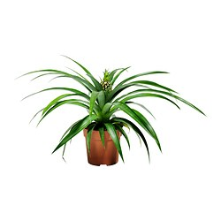 "ANANAS potted plant Diameter of plant pot: 5 "" Height of plant: 15 ¾ "" Diameter of plant pot: 13 cm Height of plant: 40 cm"