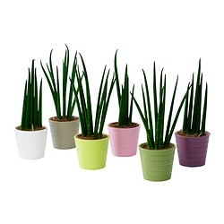 SANSEVIERIA potted plant with pot, Snake plant Diameter of plant pot: 6 cm Height of plant: 20 cm